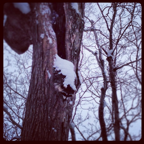 frozen Racoon Ailsa Craig, Ontario Canada
