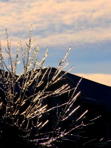 Golden tree Brampton, Ontario Canada