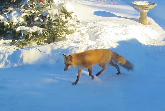 fox Winnipeg, Manitoba Canada