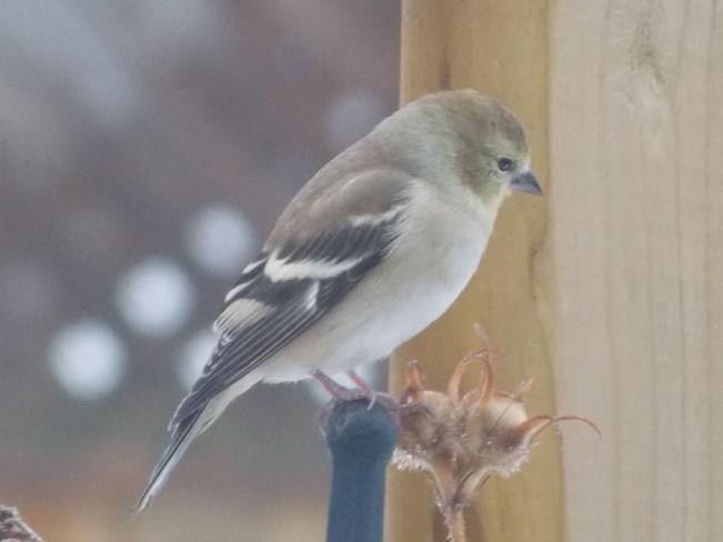 winter american goldfinch London, Ontario Canada