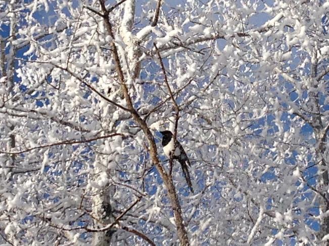 Black-billed Magpie Calgary, Alberta Canada