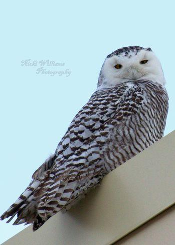 Welland's snowy owls Welland, Ontario Canada