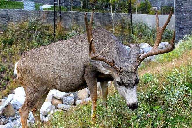 Deer in Banff alberta Orangeville, Ontario Canada