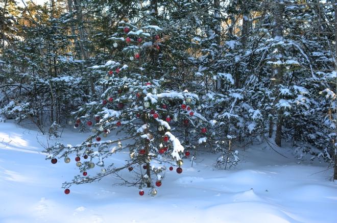 Christmas tree in a hollow Hubbards, Nova Scotia Canada