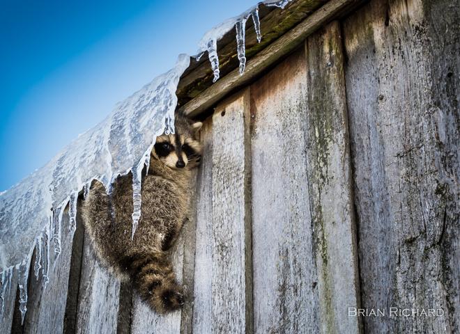 Raccoon Hangout Pictou, Nova Scotia Canada
