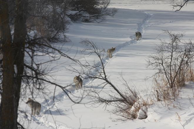 Pack of 4 Coyote's Winnipeg, Manitoba Canada