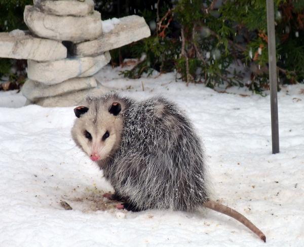 Opossum Bacyard Visit Oakville, Ontario Canada