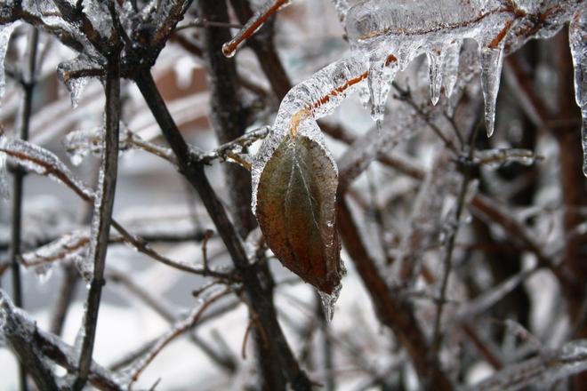 Frozen Leaf Toronto, Ontario Canada