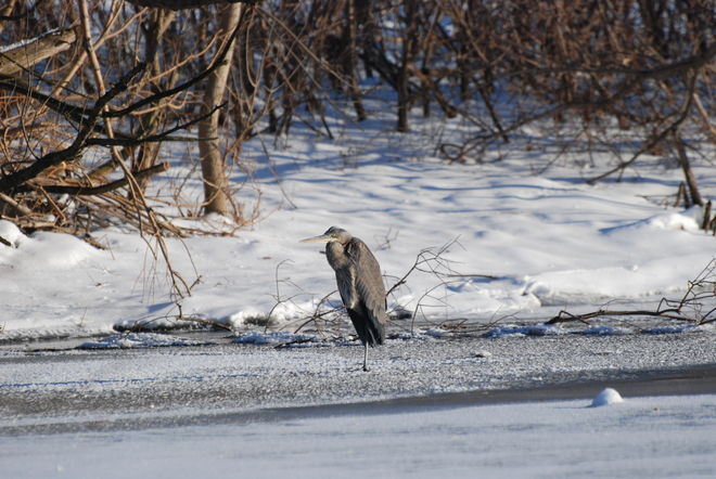 Great Blue Heron in Unionville Unionville, Ontario Canada