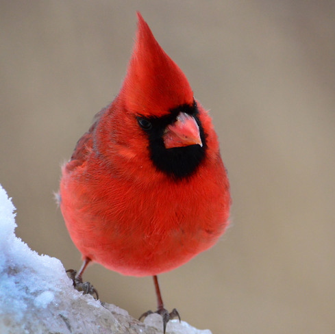 Male Northern Cardinal Scarborough, Ontario Canada