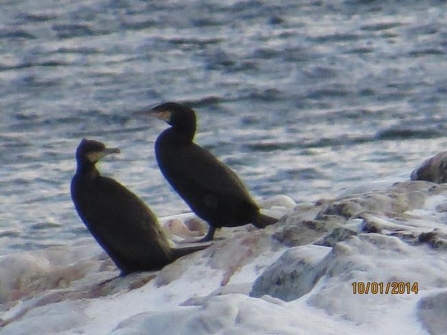 birds off a feather flock togather Rock Harbour, Newfoundland and Labrador Canada