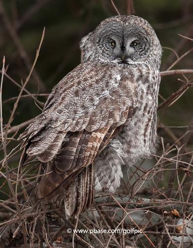 Great Gray Owl Toronto, Ontario Canada