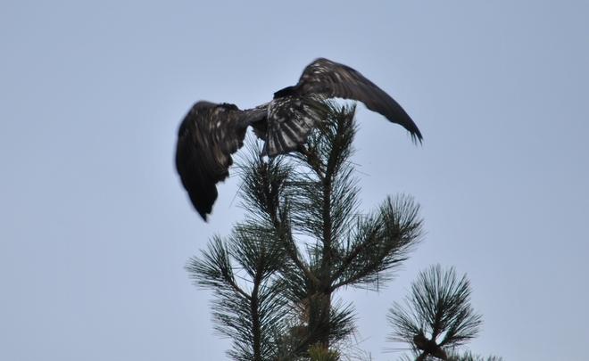 Big bird making a getaway South Kelowna, British Columbia Canada