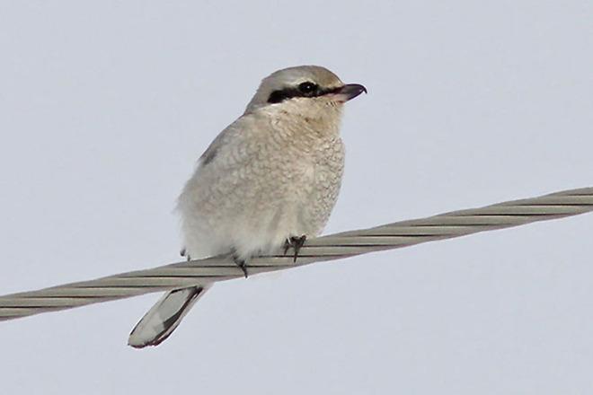 Northern Shrike Morewood, Ontario Canada
