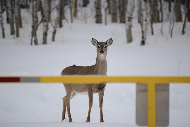Mother Deer Winnipeg, Manitoba Canada