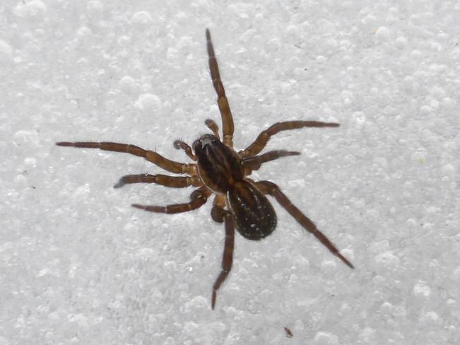 SNOW SPIDER SHUFFLE Cranbrook, British Columbia Canada