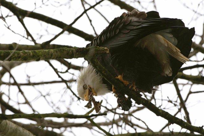 Bald Eagle - Tree Diner Delta, British Columbia Canada
