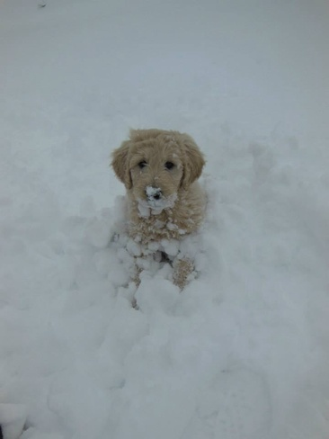 Snowball Puppy Triton, Newfoundland and Labrador Canada
