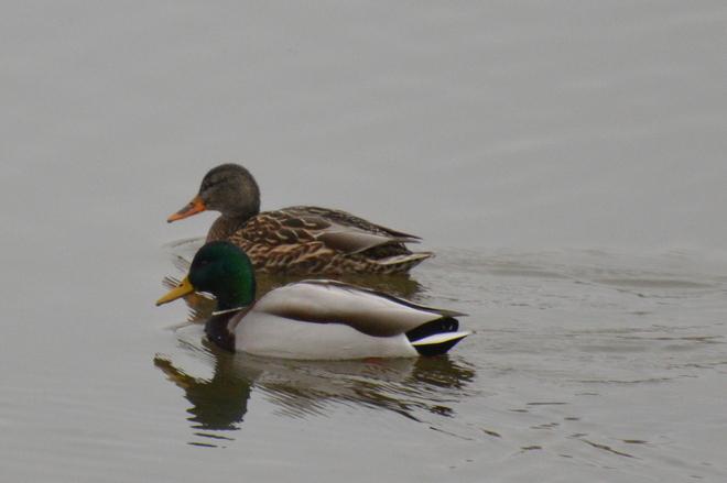 Pair Of Mallard Ducks Pitt Meadows, British Columbia Canada