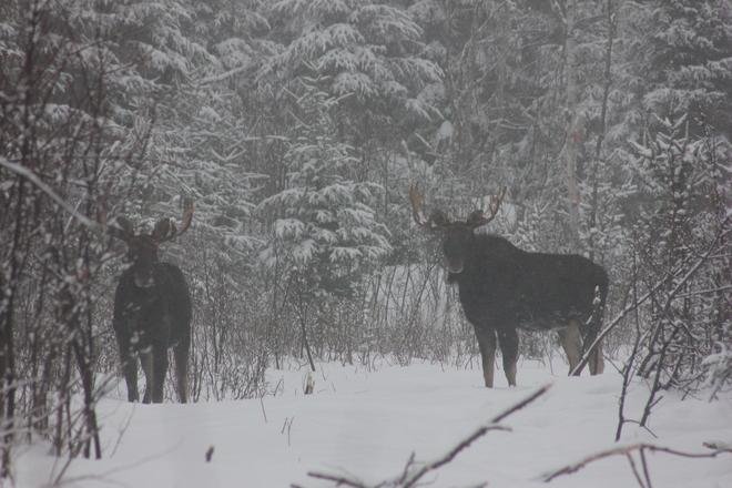 Moose Edmundston, New Brunswick Canada