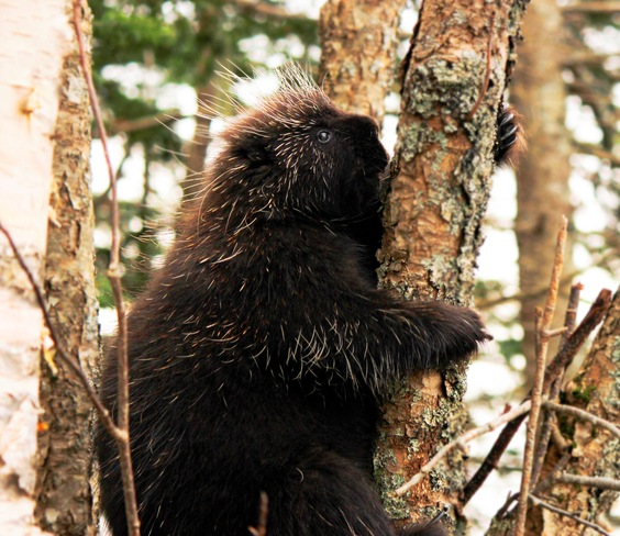 Mr. Porcupine Saint John, New Brunswick Canada