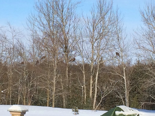 turkeys in the tree Durham, Ontario Canada