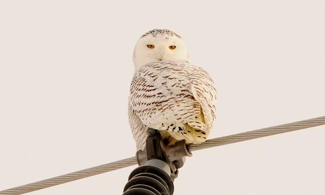 Snowy Owl Linwood, Ontario Canada