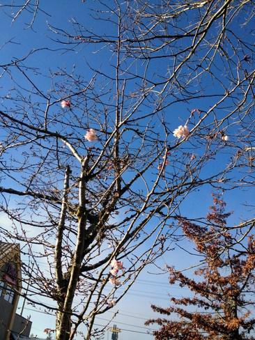 Trees in Bloom!!! Nanaimo, British Columbia Canada
