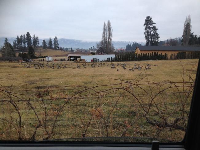 Resting Flock Westbank, British Columbia Canada
