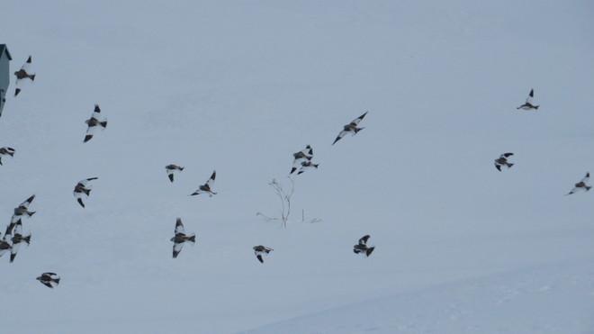 snow buntings in flight Rutherglen, Ontario Canada