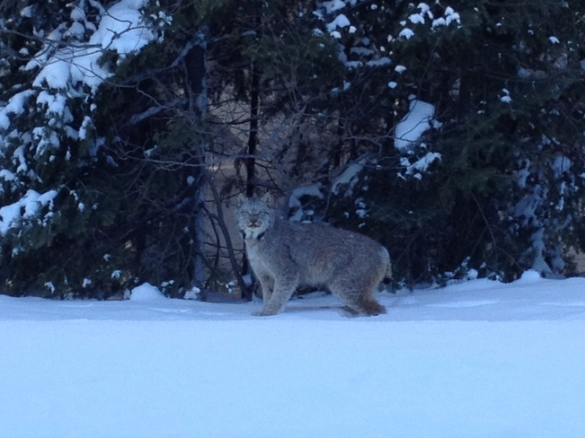 Lynx on the prowl Cartier, Ontario Canada