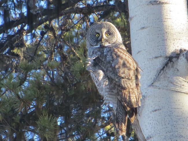 GREAT GRAY OWL Jasper, Alberta Canada
