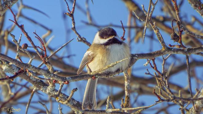 Chickadee Smiths Falls, Ontario Canada