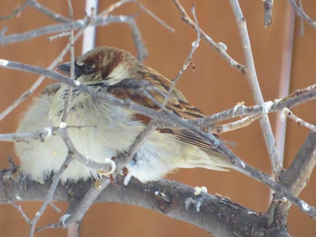 Sparrows Winnipeg, Manitoba Canada