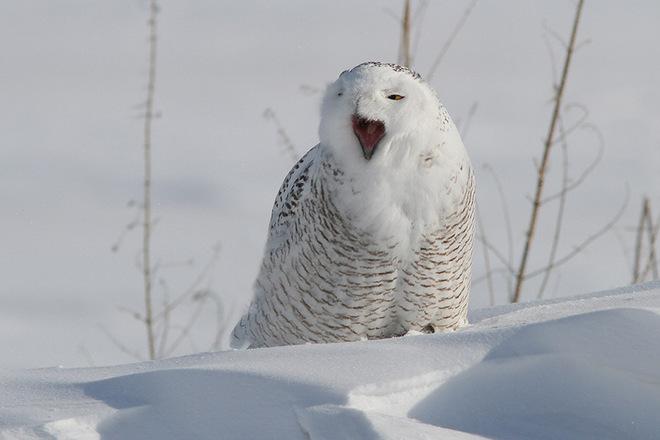 Snowy Owl Sings Opera St. Isidore, Ontario Canada