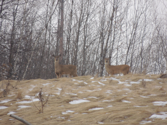 Deer on Hill Nanticoke, Ontario Canada