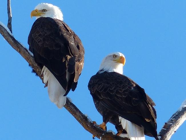Bald eagle couple Grand Forks, British Columbia Canada