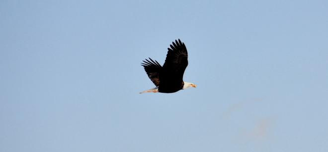 Bald Eagle in flight Canning, Nova Scotia Canada