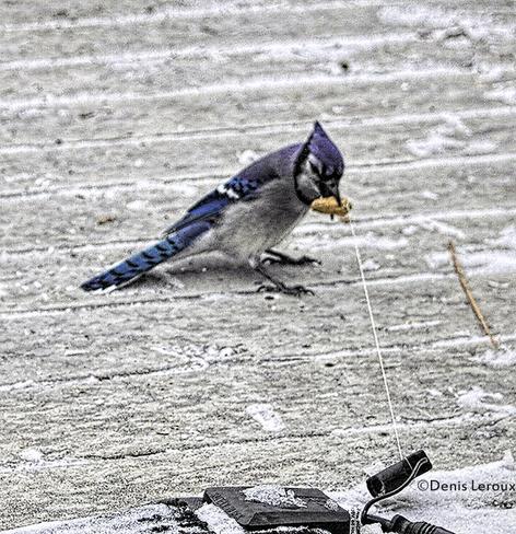 Blue Jay Maberly, Ontario Canada