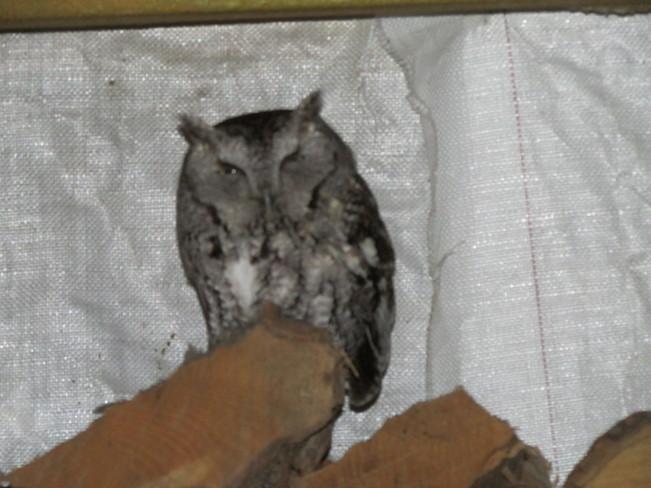 Owl on wood Lion's Head, Ontario Canada