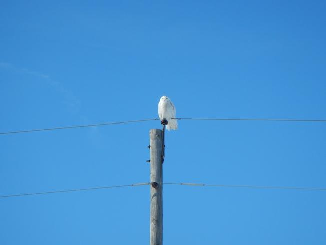 Snowy Owl Exeter, Ontario Canada