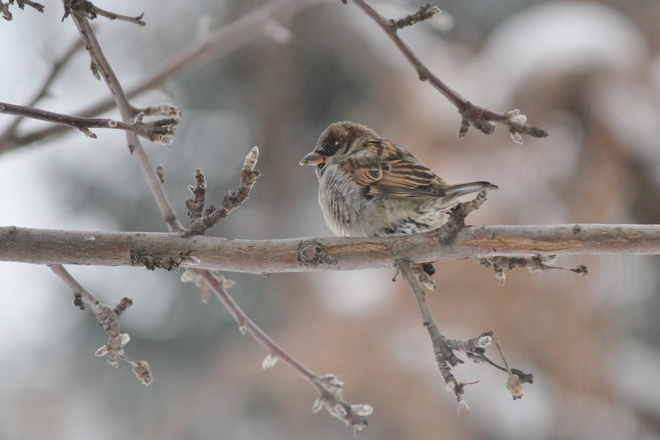Sparrow Vanscoy, Saskatchewan Canada