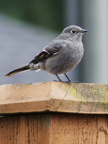Pretty little bird Fort Langley, British Columbia Canada