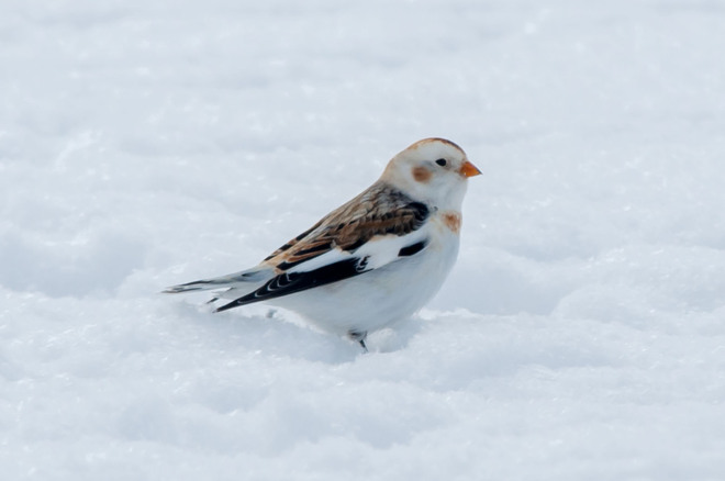 Snow Bunting Singhampton, Ontario Canada