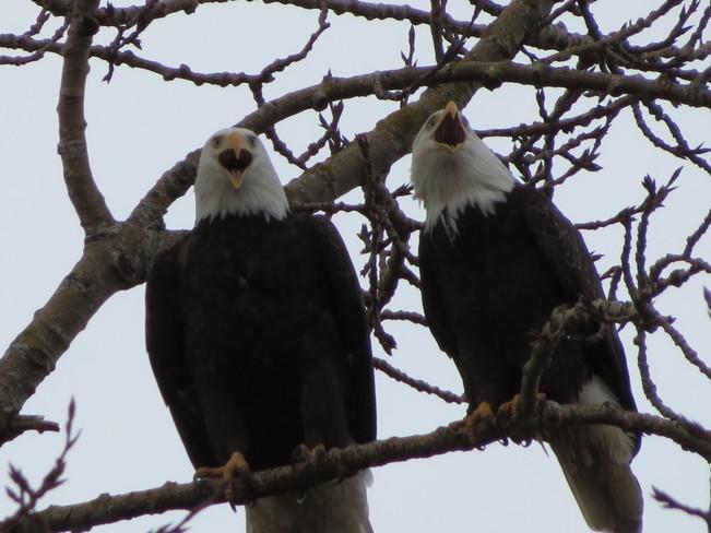Valentines Eagles Richmond, British Columbia Canada