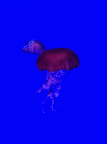 Jellyfish Toronto, Ontario Canada