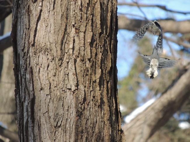 Mid air Woodpecker battle Vaughan, Ontario Canada