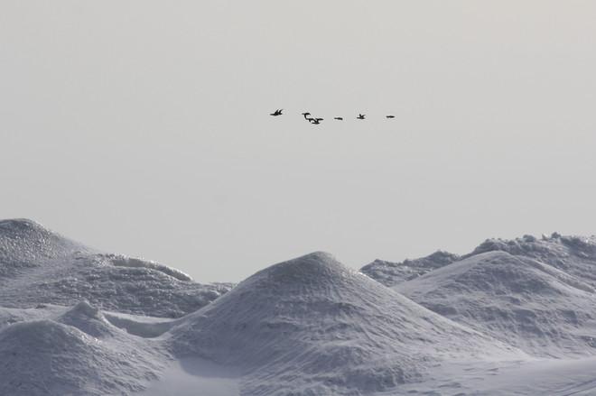 many birds past the ice Brighton, Ontario Canada