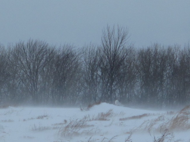Snowy Owl Cobourg, Ontario Canada