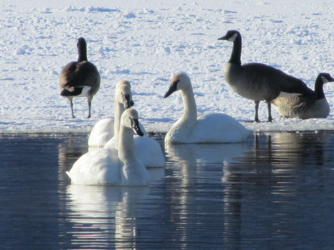 Swans claim the open water Vernon, British Columbia Canada